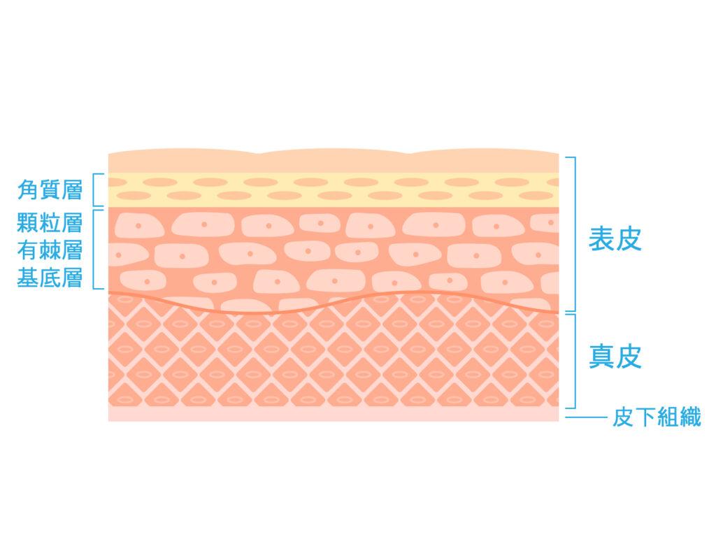 皮下組織・表皮・真皮など皮膚の構造を表したイラスト。