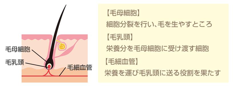 まゆげは「毛母細胞」「毛乳頭」「毛細血管」で形成されています。そして毛乳頭が傷んでいると眉毛は生えてきません。その毛乳頭を元気にサポートしてくれる美容液がマユライズなんです。